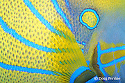 detail of color pattern of ring angelfish, Pomacanthus annularis (c), Thailand, Indo-Pacific