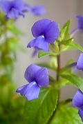 Flowering Brazilian Snapdragon or Amazon Blue (Otacanthus azureus) Photographed in May