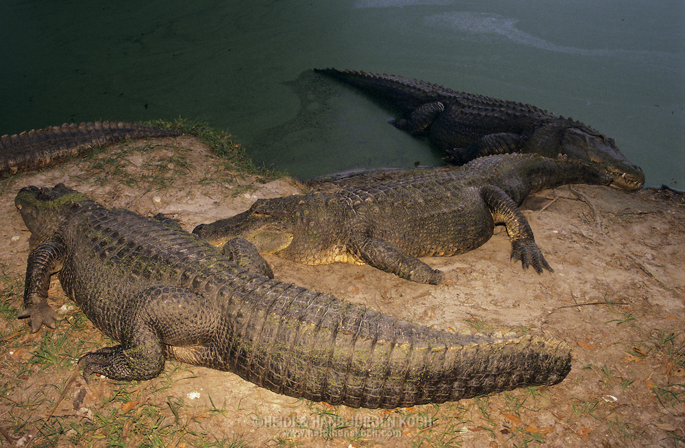 Vereinigte Staaten von Amerika, USA, Florida: amerikanischer Mississippi-Alligator (Alligator mississippiensis). Eine Gruppe rastet auf einer Sandbank. | United States of America, USA, Florida: American Alligator, Alligator mississippiensis, group resting on a riverbank. |