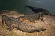 Vereinigte Staaten von Amerika, USA, Florida: amerikanischer Mississippi-Alligator (Alligator mississippiensis). Eine Gruppe rastet auf einer Sandbank. | United States of America, USA, Florida: American Alligator, Alligator mississippiensis, group resting on a riverbank. |