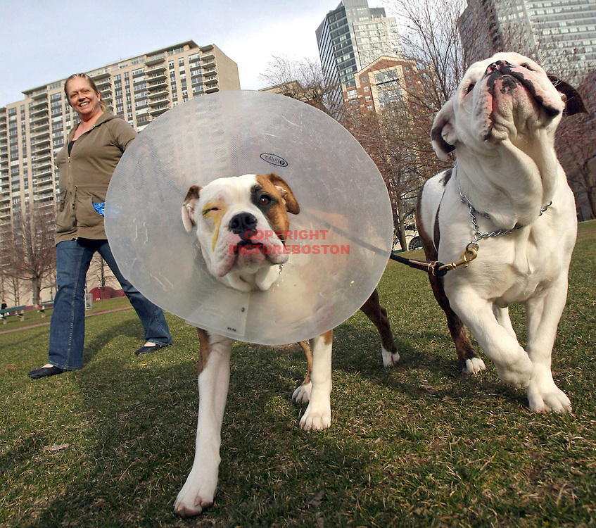 (04/03/08-Boston,MA) Denise Bolen takes Gracie and Bubba, her two Olde English Bulldogges (CQ) for a walk in Boston Common. Gracie has just had eye surgery and wears an instrument to protect her.