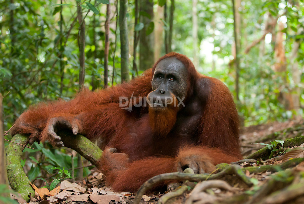 A large male Sumatran orangutan guards a trail in Gunung Leuser National Park.