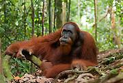 A large male Sumatran orangutan guards a trail in Gunung Leuser National Park.