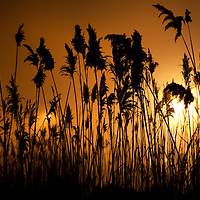A tall patch of mash land reeds standing during a fog covered night.   The reeds were illuminated by a light in a nearby marina