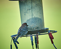 House Finch. Image taken with a Nikon D5 camera and 600 mm f/4 VR telephoto lens (ISO 900, 600 mm, f/5.6, 1/1250 sec).
