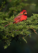 Northern Cardinal, Harwich, Massachusetts