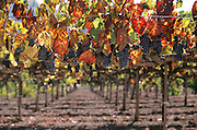 Napa Valley, California. Red grapes for wine; ready to harvest.