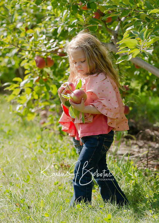 Lauryn Salmon apple picking at Stonybrook in Gilford on Thursday afternoon.  (Karen Bobotas/for the Laconia Daily Sun)