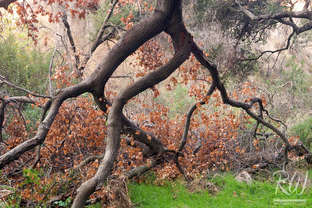 Fallen Oak Tree in San Dimas Experimental Forest, California