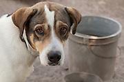 Dog, Island of Montserrat