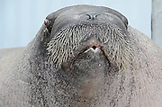 Anyone for 'I am the Walrus'? Listen to one zoo's famous resident celebrate his 30th birthday by showing off incredible vocal range<br /> <br /> Most of us enjoy a bit of a party on our birthday and it seems this giant Walrus is no different.<br /> When E.T. the Walrus celebrated his 30th recently, he decided to have a bit of sing-song.<br /> And as this YouTube video shows, he certainly has a voice to be proud of.<br /> <br /> As one of the keeper's at Point Defiance Zoo & Aquarium in Tacoma, Washington, shouted out instructions for different vocal styles, the happy Walrus gladly obliged.<br /> His styles ranged from long low bellows, to growls and even a whistle at one point.<br /> <br /> One of E.T's more bizarre noises comes from him repeatedly shaking his head while letting out a loud bellow. The talented animal also manages to make a strange noise from his throat.<br /> Unsurprisingly, E.T. is one of the star attractions at the zoo.<br /> <br /> He was found as a pup by oil workers in Alaska in 1982, starving and orphaned and was given the name - taken from the famous film.<br /> The Walrus was taken to Point Defiance Zoo & Aquarium where he was raised and he now weighs a healthy 3,400 pounds.<br /> He currently shares his living space at the zoo with female walruses Basilla and Joan. It is hoped they will establish a breeding group. <br /> Lets hope they like his singing.<br /> ©exclusivepix