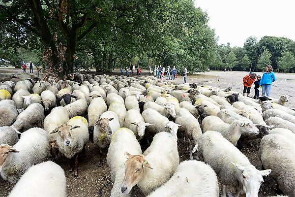 Nederland, Nijmegen, Malden, 8-9-2013Open dag in natuurgebied Heumensoord, beheerd door natuurmonumenten. Een schaapskudde komt langs. De schapen begrazen de open plekken, halen het gras weg, om de hei de ruimte te geven, en het gebied op een natuurlijke manier te onderhouden. Schaaphonden houden de dieren bij elkaar. De schaapskuddes in Gelderland worden bedreigt vanwege het stoppen van de subsidie. De provicie probeert bij te springen, maar stuit op administratieve problemen.Foto: Flip Franssen/Hollandse Hoogtedgfoto 61409 editie nijmegenFoto: Flip Franssen