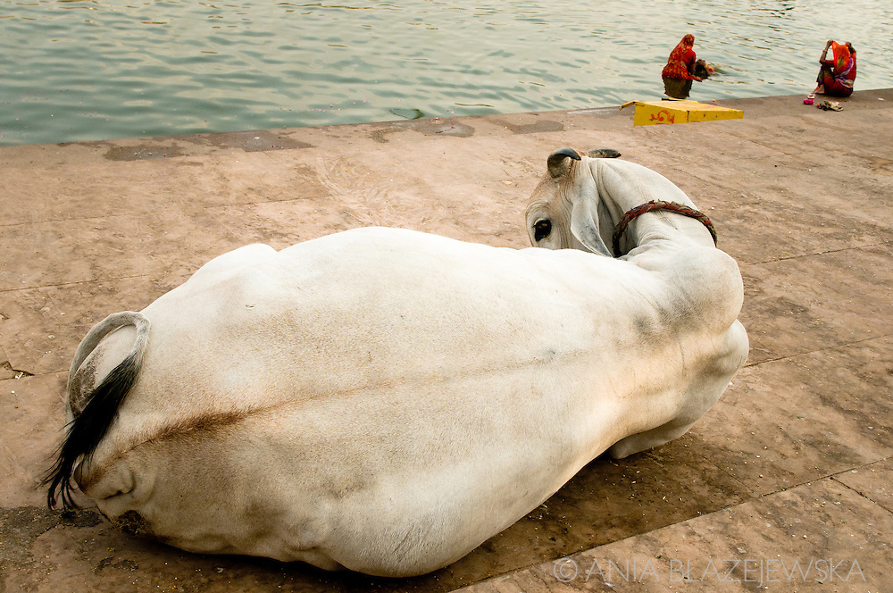 India, Pushkar. A cow resting at one of the ghats in Pushkar.