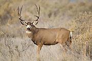 Mule deer buck (Odocoileus hemionus)