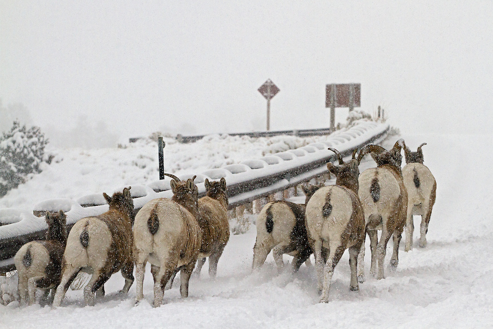 Bighorn sheep navigate through a late autumn blizzard in the Shoshone National Forest. Bighorns choose to winter in this area because of limited snowfall and are often caught off guard when a big storm arrives.