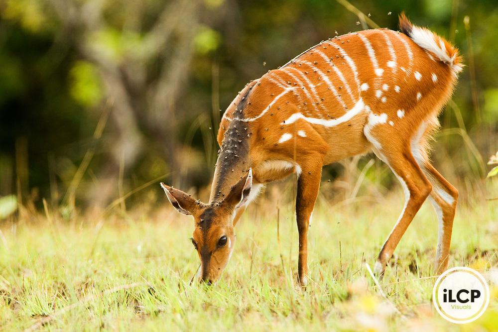 Bushbuck (Tragelaphus scriptus) female grazing, Lope National Park, Gabon