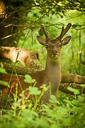 Roe buck (Capreolus capreolus) in velvet in a woodland glade. Dorset, UK.