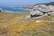 Wildflowers adorn the coastline of Salt Point State Park