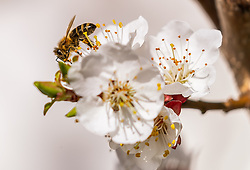 THEMENBILD - eine Biene bestäubt Marillenblüten eines blühenden Marillenbaumes, aufgenommen am 18. April 2018 in Kaprun, Österreich // a bee pollinates apricot blossoms of a flowering apricot tree, Kaprun, Austria on 2018/04/18. EXPA Pictures © 2018, PhotoCredit: EXPA/ JFK