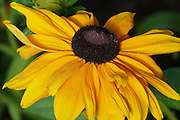 Rudbeckia 'Marmalade' flower.<br />