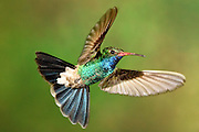 In flight male Broad-billed Hummingbird, Arizona (Cynanthus latirostris)