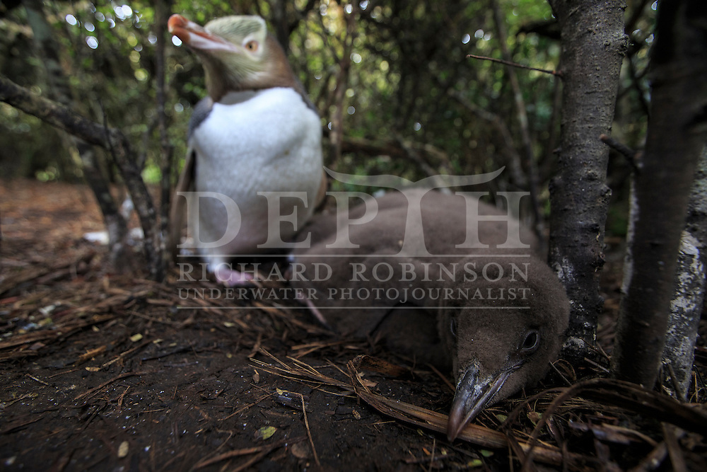 Megadyptes antipodes (Yellow eyed penguin) adult looking after it&rsquo;s chick at Enderby Island, Auckland Islands, New Zealand.<br /> 09 January 2016<br /> Photograph Richard Robinson &copy; 2016