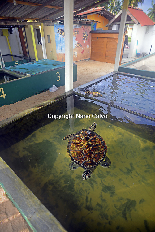 Sea Turtle Hatchery and Rescue Center founded by B.K. Ariyapala in Paraliya, Sri Lanka