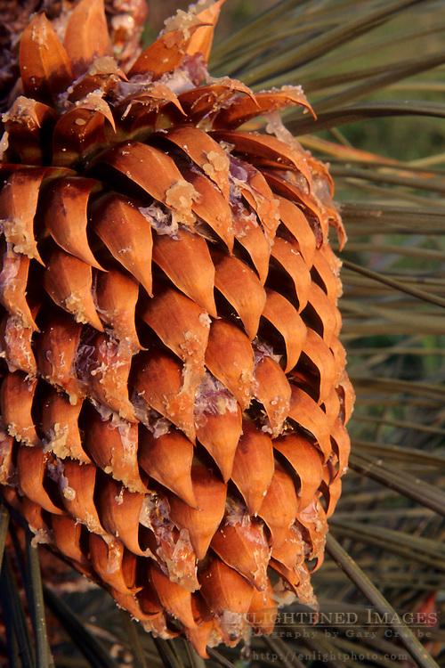 Pine cone close-up (with sap) Tilden Regional Park, Berkeley Hills, CALIFORNIA