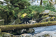 An adult American black bear walks across a log crossing over Anan Creek in the Tongass National Forest, Alaska. Anan Creek is one of the most prolific salmon runs in Alaska and dozens of black and brown bears gather yearly to feast on the spawning salmon.