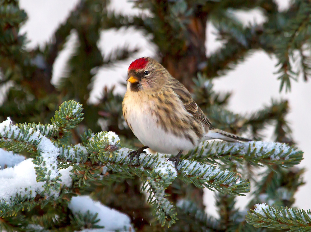 Alaska. A Common Redpoll (Acanthis flammea) resting in a spruce tree during winter, Anchorage.