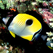 Teardrop Butterflyfish inhabit reefs. Picture taken Philippines.