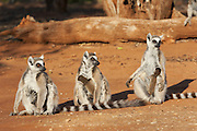 Ring-tailed Lemur<br /> Lemur catta<br /> Mothers with two-week-old babies sunbathing at sunrise<br /> Berenty Private Reserve, Madagascar