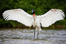 A front-view of a jabiru stork (Jabiru mycteria) flapping its huge wings while standing in the Cuiaba River, Mato Grosso, Pantanal, Brasil,South America