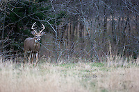 Young whitetail buck exiting from the brush
