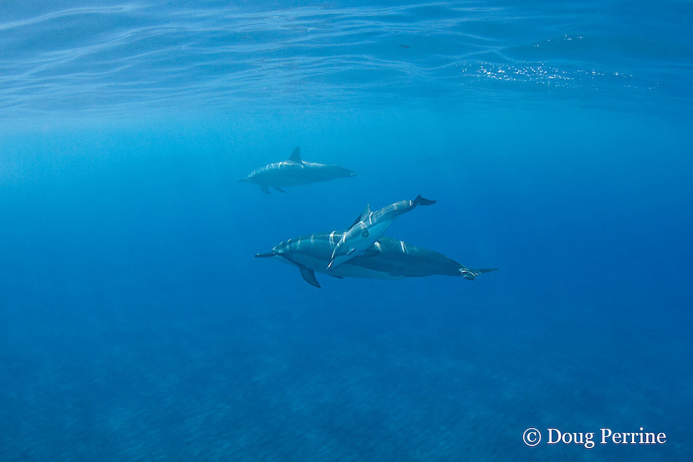 Hawaiian spinner dolphins or long-snouted spinner dolphins, or Gray's spinner dolphins, Stenella longirostris longirostris, including calf with large bite wound from cookie-cutter shark, Hookena, Kona, Hawaii ( the Big Island ) Central Pacific Ocean