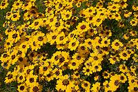 Coreopsis (Coreopsis wrightii), Bastrop County, Texas