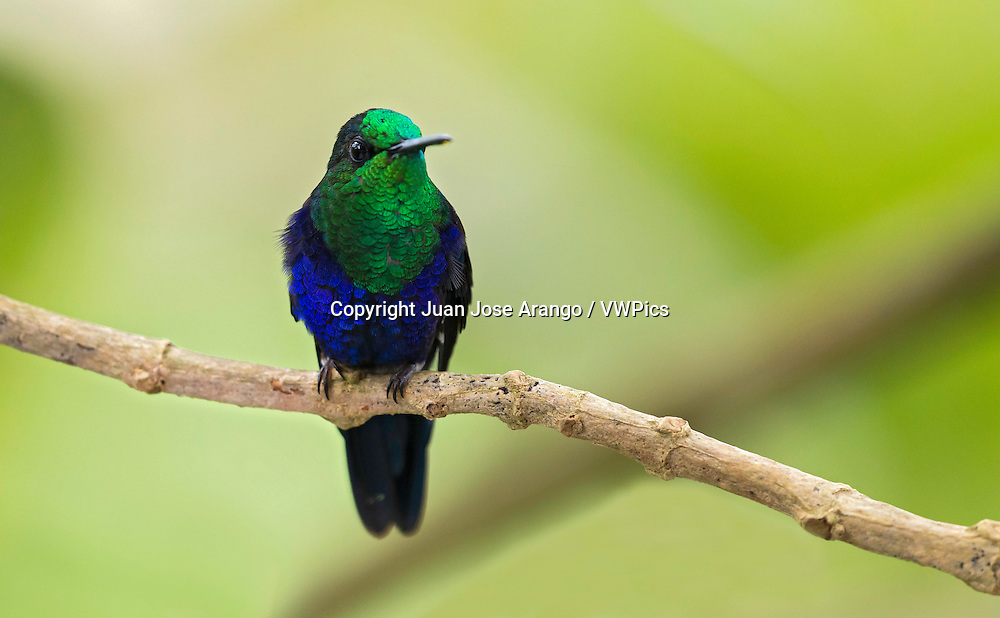 Green-crowned Woodnymph male (Thalurania colombica fannyi). El Queremal, Valle del Cauca