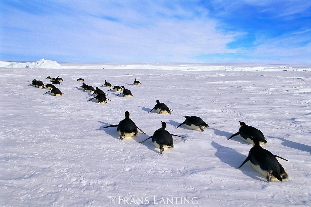 Emperor penguins tobogganing, Aptenodytes forsteri, Antarctica