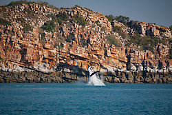 An adult Humpback whale cow breaches in front of the cliffs at Wilson Point on the Kimberley coast.   Her calf had breached seconds before and the footpring is visible to the left of the whale.
