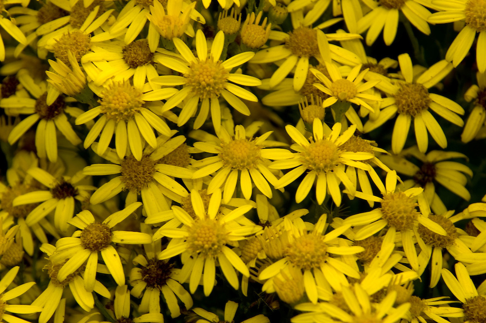 Tansey Ragwort (Senecio jacobaea), Mt. St. Helens National Volcanic Monument, Washington, US, August 2005