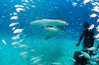 Grunts scatter as a Great Hammerhead approaches<br /> <br /> Shot in Bahamas