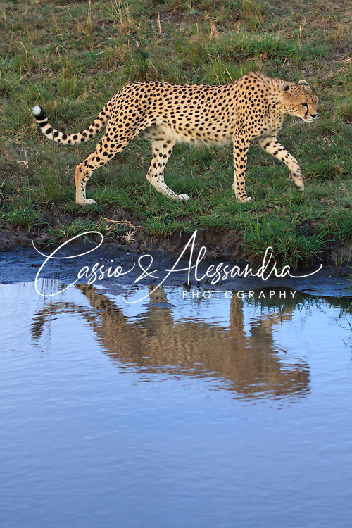 Kenya - Maasai Mara - Cheetah - Acinonyx jubatus - nice chance to see a cheetah to approach a waterhole for drinking, I missed the drinking act itself but could take this shot  after she walked along the line of water after sunset.
