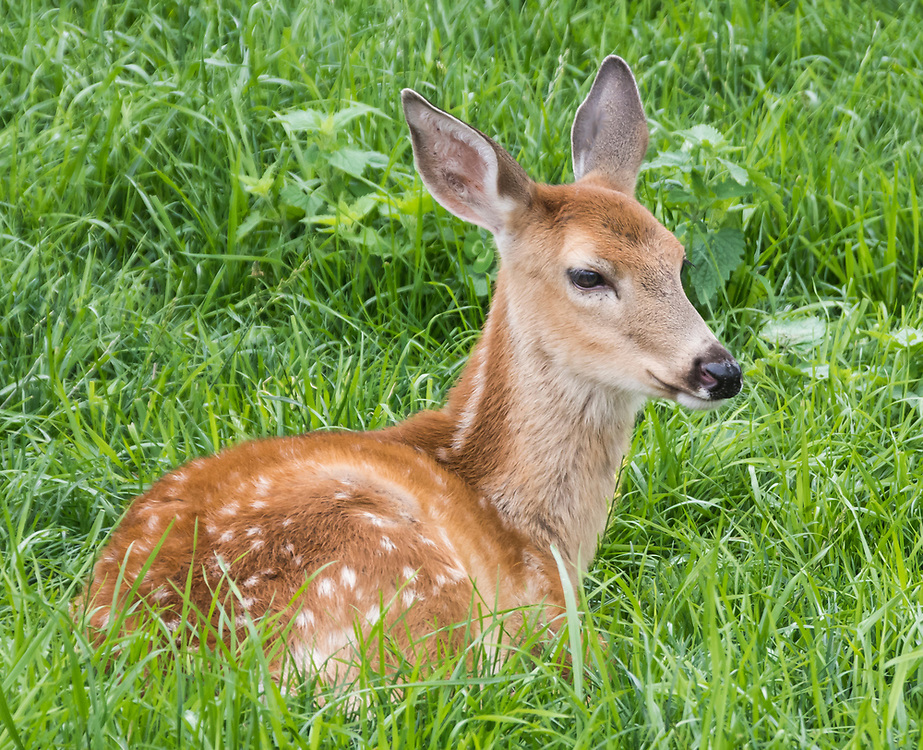 White tail fawn laying in a field