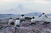 Gentoo Penguin<br /> Pygoscelis papua<br /> Adults on nests at sunrise<br /> Booth Island, Antarctica