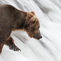 A bear stand motionless on the top of a rushing waterfall, hold her paw up and ready to swipe a jumping salmon out of the air.  It is amazing feat of strength that this bear is able to stand so still in such a rushing torrent.