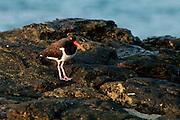 American Oystercatcher (Haematopus palliatus) seeking for food in the rocks at Isla Pacheca shore. Las Perlas Archipelago, Panama province, Panama, Central America.