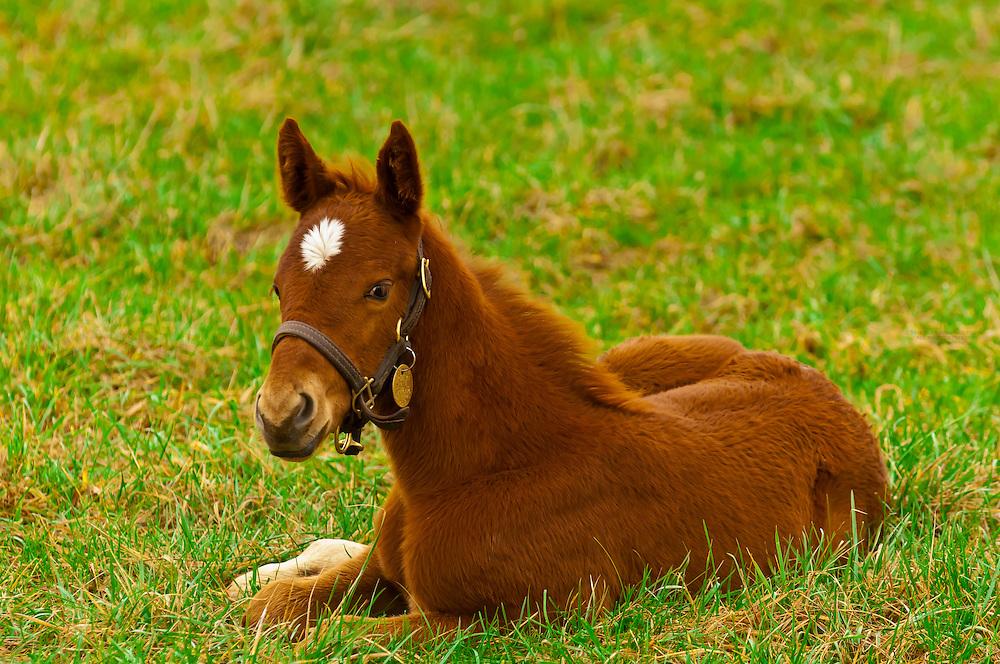 Thoroughbred mare and foal, Stonestreet Farms, Versailles (near Lexington), Kentucky USA
