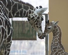 MAR 02 2013 Long Giraffes Offspring