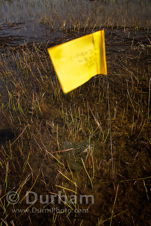 A flag marks a spot where oregon spotted frogs (Rana pretiosa) have created an egg mass in Conboy Lake. Conboy Lake National Wildlife Refuge, Washington.