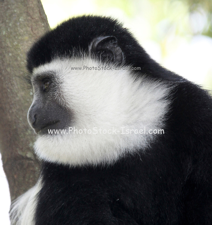 Mantled guereza (Colobus guereza). This colobus monkey lives in troops consisting of one adult male and several females who inhabit territories of around 16 hectares. It feeds on fruits, flowers and seeds and can grow to around 150cm in length, including its long tail, and weigh around 14 kilograms. Photographed in Lake Awassa, Ethiopia.